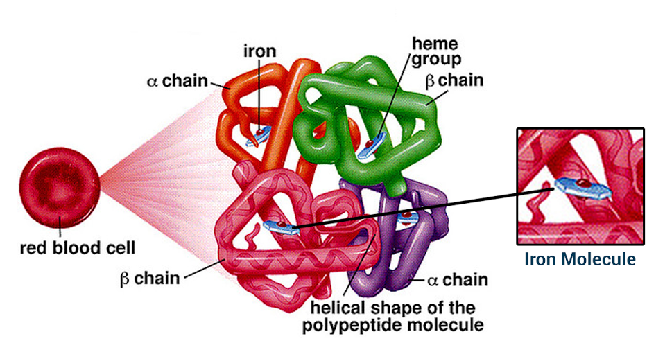 Structure of Hemoglobin